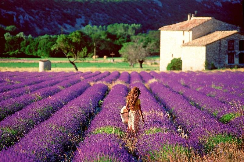 vuon-hoa-lavender-da-lat